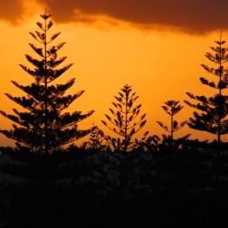 araucaria sunset
