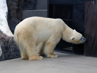 Ich möchte ein Eisbär sein - aber nicht im Zoo