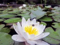 water lily & more